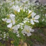 菜の花畑(大根の花、白菜の花、ブロッコリーの花)