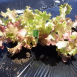 サニーレタスの栽培方法