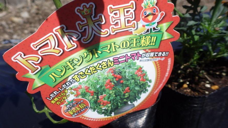 トマト大王(ハンギングミニトマト)の栽培方法