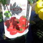 ピンキー(ミニトマト)の栽培方法