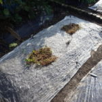 桜島ダイコンの栽培記録